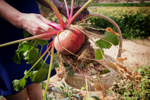 Beetroot - Greenheart Organic Farms - Dubai / Fujairah - Airspectiv Media